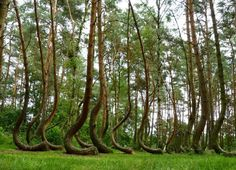 The Crooked Forest of Gryfino, Poland Crooked Forest, Crooked Tree, Unbelievable Pictures, Mysterious Places, Strange Places, Beautiful Forest, Bizarre, Pine Forest, Viajes