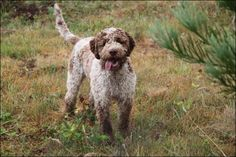 The Lagotto Romagnolo was officially recognized by the AKC. Written evidence places the breed in the marshes of Romagna as early as 1600, with numerous references appearing in writings throughout the 19th century, which is also the time when mention begins to be made of the dogs' truffle finding abilities. During the period between the two World Wars, the Lagotto was the breed used by almost all truffle hunters.