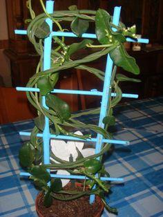 ceropegia sandersonii | Cuidar de tus plantas es facilisimo.com