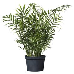 CHAMAEDOREA ELEGANS Potted plant - IKEA this would look great in the corner of your office by the storage door and patio window