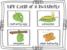 FREEBIE...Life cycle of a butterfly sequencing cards in color and black & white!
