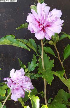 HIBISCO da SÍRIA ROXO DOBRADO ( Hibiscus syriacus ) Arbusto muito ornamental que cresce até 2 metros de altura, podendo ser mantido... Hibiscus, Science And Nature, Pretty Flowers, Beautiful Images, Cactus, Flora, Exotic, Landscape, Gardening