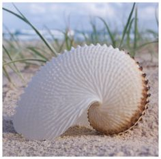paper nautilus......gorgeous ~ so fragile looking, but nature has made this beauty to withstand all the surgings & waves!