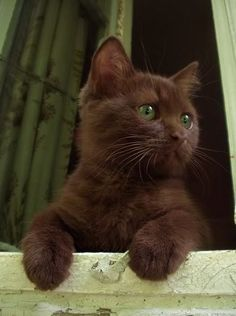 Pretty Animals, Cute Little Animals, Pretty Cats, Beautiful Cats, Cute Baby Cats, Adorable Kittens, Adorable Cute Animals, Photo Chat, Brown Cat