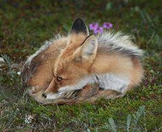 "Fox:  ""I'd like to take an afternoon nap..."""