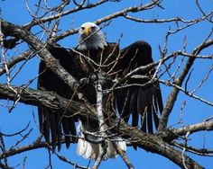 Photos: Bald Eagles of the Mighty Mississippi