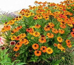 This remarkable introduction combines a dwarf growing habit with a longer bloom time. The bold orange and gold flowers have molasses-colored cones that draw butterflies summer to fall. PP 24,460  Helenium is a large genus that is especially valuable because it delivers bold colors on sturdy plants that bloom in August and September, when few perennials are at their peak. Full sun and an organic-rich, well-drained soil are best; satisfy these requirements and plants will brighten a border…