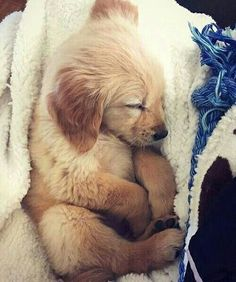 sleeping golden retriever puppy #cute #dog #pet