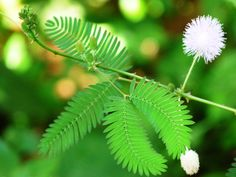 """Tips on growing Mimosa pudica in containers.: Mimosa is known as the """"sensitive plant"""" because its leaves fold together on contact. Outdoor Plants, Outdoor Gardens, Touch Me Not Plant, Mimosa Plant, Mimosa Pudica, Asian Plants, Albizia Julibrissin, Sensitive Plant, Indoor Water Garden"""