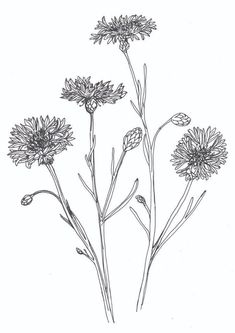 Plants drawing black and white flower korenbloem cornflower bluebottle hurt-sickle Plant Illustration, Botanical Illustration, Watercolor Illustration, Black And White Art Drawing, Black And White Flowers, Black And White Sketches, Cute Flower Drawing, Flower Art, Flowering Shade Plants