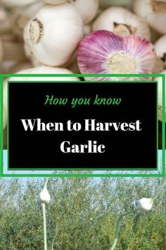 Garlic is an interesting plant and if you watch it closely in your garden it will tell you when it is time to harvest. Holistic Health Tips for Beginners, Plant Based Medicine When To Harvest Garlic, Organic Insecticide, Organic Pesticides, Soil Improvement, Organic Gardening Tips, Vegetable Gardening, Container Gardening, Veg Garden, Garden Soil