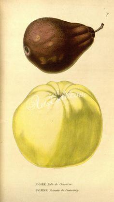 Pear, Apple      ...