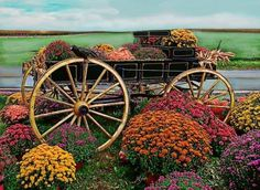 Rolling garden carts with seats make it simpler to plant seeds or clear weeds without needing to bend over or get back on your hands and knees. The bed of the wagon is wholly full of bold red geraniums and… Continue Reading → Flowers Nature, Fall Flowers, Beautiful Flowers, Beautiful Gardens, Beautiful Things, Beautiful Pictures, Garden Wagon, Garden Cart, Fall Mums