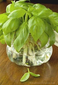 to Propagate Basil – For Pennies! How to Propagate Basil - So d one of the best tricks ever!How to Propagate Basil - So d one of the best tricks ever! Growing Food, Growing Herbs, Container Gardening, Propagate Basil, Veggie Garden, Propagating Plants, Plants, Herbs, Planting Flowers