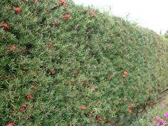 Grevillea Hedge Screening Plant