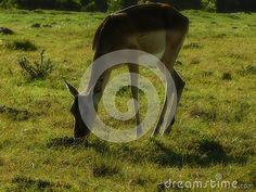 A view of a female Impala grazing on grassland in afternoon sun. Elephant Images, African Animals, Zebras, Impala, Riding Helmets, Giraffe, Sun, Female, Felt Giraffe