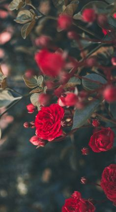 A Dozen Red Roses iPhone Wallpapers for Valentine's Day - Wallpaper World - iPhone - Android Wallpapers Flower Wallpaper, Nature Wallpaper, Wallpaper Backgrounds, Iphone Wallpapers, Phone Backgrounds, Rose Images, Rose Pictures, Romantic Roses, Beautiful Roses