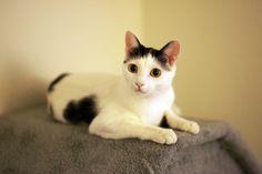 japanese bobtail I Love Cats, Cute Cats, Funny Cats, Gato Bobtail, Animals And Pets, Cute Animals, Japanese Bobtail, Kinds Of Cats, Walking By