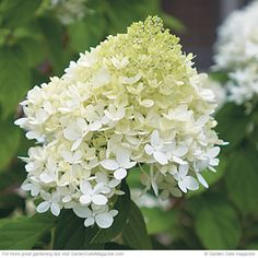 No-fail flowers! Low-maintenance and showy, these three panicle hydrangeas are must-haves.