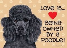 POODLE LOVE... Arrrhh. It's Poppy, our crazy, manic Standard Poodle pup!