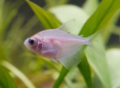 """I am not sure why some people dye these fish """"jelly bean colors"""". I think they are beautiful just as they are. Sea Aquarium, Tropical Aquarium, Freshwater Aquarium Fish, Planted Aquarium, Tropical Fish, Tetra Fish, New Tank, Guppy, Betta"""