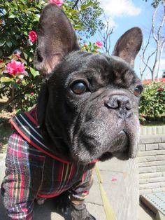 Please see me more than a flower. #Frenchbulldog