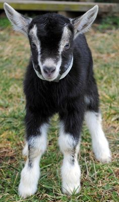Mini Goats, Cute Goats, Baby Goats, Cute Baby Animals, Farm Animals, Beautiful Creatures, Animals Beautiful, Pigmy Goats, Dwarf Goats