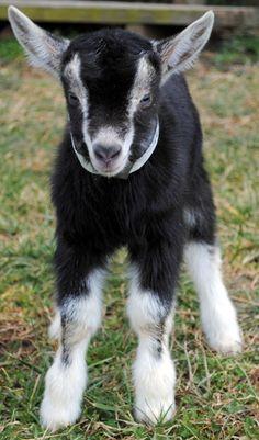 A pet goat? I think so.