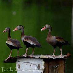 Black-bellied Whistling Ducks, Trinidad. By Becca Tucker