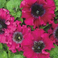 Semena květin a zelenin - Petunia superbissima Vínově červená 1/16g - Cernyseed.cz
