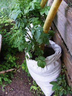 Home Vegetable Garden, Garden Hose, Container Gardening, Vegetables, Ideas, Plants, Outdoor, Potato, Vegetable Gardening