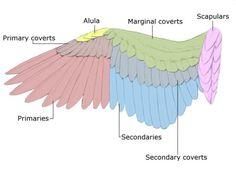 Hawkgirl: Anatomy of Bird Wing Feathers