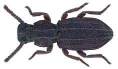 Family: Tenebrionidae Size: 6,6 mm Location: Cyprus,  Larnaca Distr., Alaminos, environment Club Aldiana leg. U.Schmidt, 4.-14.V.2014; det. Schawaller, 2015 Photo: U.Schmidt, 2016