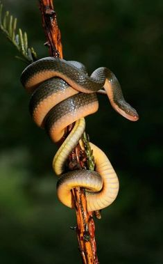 Photo about Close-up of an Aurora house snake (Lamprophis aurora), South Africa. Image of africa, wild, green - 27331776 Les Reptiles, Reptiles And Amphibians, Mammals, Serpent Venimeux, Snake Totem, Snake Photos, Largest Snake, Cute Snake, Poppies