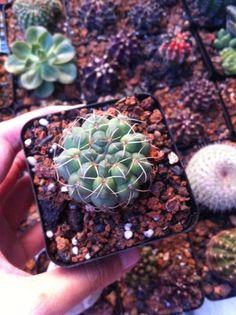 Bạn có biết thần long cũng thuộc họ gymno không? #gymno #cactus #cactos #cactii #cacti #cactilove #cactilover #welovecacti #xuongrong #senda #succulent #succulents #succulove #succulovers #cactiofinstagram #hochiminhcity #saigon #vietnam #erialshop #plants #plant https://www.facebook.com/erialshop.vn/photos/a.223875251142879.1073741828.223874711142933/569307413266326/?type=3&theater