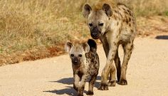 hyena images - Google Search