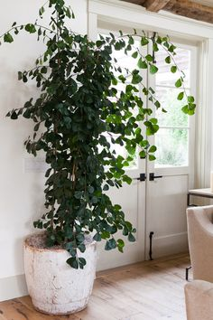"""Triangle Ficus    """"There are a lot of Ficus that are easier than the Fiddle Leaf, and arguably even more interesting looking. The Ficus Triangularus has these really cool leaves that are smaller and cover more of the whole tree, eventually creating a column. As they grow, they begin to arch over in a beautiful, graceful way. They make a statement, but aren't quite as particular, so they're a great alternative for those looking for a tree that won't need extensive maintenance."""""""