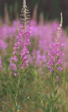 Fireweed (Epilobium spp.):  --shoots are edible raw. --young leaves are edible raw. --flowers are edible raw. --flower bud clusters can be cooked as vegetable. --stem pith can be added to soups as thickener. --varieties in the Pacific Northwest are Common fireweed (Epilobium angustifolium) and Dwarf fireweed (Epilobium latifolium). --grows in open, disturbed areas in foothill, montane, alpine and subalpine regions. warning: may act as a laxtative if eaten in quantity.