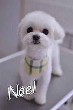 Noel,my Maltese