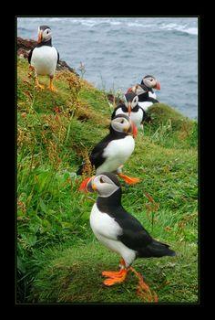 The Atlantic Puffin Bird Weird Birds, All Birds, Little Birds, Amazing Animal Pictures, Bird Pictures, Beautiful Birds, Animals Beautiful, Cute Animals, Love Birds Painting