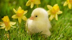 Yellow jonquil and daffodil flowers, bright green new grass, and baby animals…