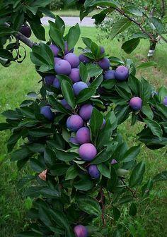 49 Fruit to Bumper Harvest in Autumn for Thanksgiving Plum Fruit, Fruit And Veg, Fruits And Vegetables, Fresh Fruit, Dwarf Fruit Trees, Fruit Plants, Fruit Garden, Art Café, Fruit Bearing Trees