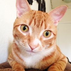 Marmalade came into our lives over a year ago now and since then he's truly captured our hearts (and became furever friends with Cole our black cat) He's such a loving and goofy kitty and we feel very lucky that he call us his humans! Recently he was diagnosed with lymphoma and FIV, but he battled through the treatments and is now in remission! We hope to continue to share our lives with him and spread awareness about cat adoption, spay/neuter, feral cats and how people can help :)
