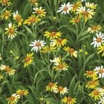 Wildflowers Basics Daisies, by Moda