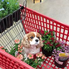 Cavalier King Charles Spaniel – Graceful and Affectionate King Charles Spaniel, Cavalier King Charles, Cute Creatures, Beautiful Creatures, Cute Puppies, Cute Dogs, Cute Little Animals, Shiba Inu, All Dogs