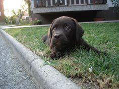 Labrador retriver hr