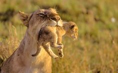 lion cub in mother's mouth at dawn