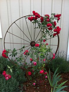 Upcycle old wagon wheels into rose trellis.
