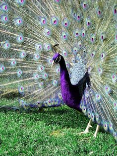 2 Purple Peafowl Peacock Hatching Eggs RARE Color | eBay
