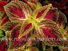 Chelsea Rose Coleus Upright Sun Tolerant bright yellow leaves w/rose-red stippling Greenhouse Plants, Hydroponic Plants, Outdoor Plants, Outdoor Gardens, Coleus Care, Easy To Grow Houseplants, Yellow Leaves, Bright Yellow, Inside Plants